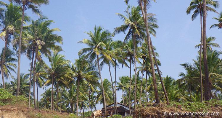 goa-anjuna-beach-cows