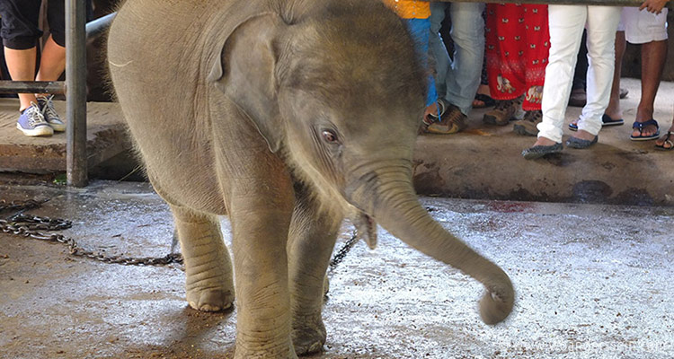 srilanka-pinnawala19-jpg