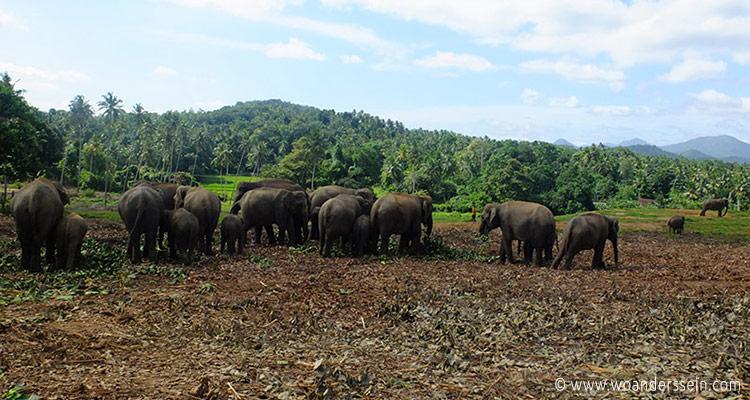 srilanka-pinnawala21-jpg