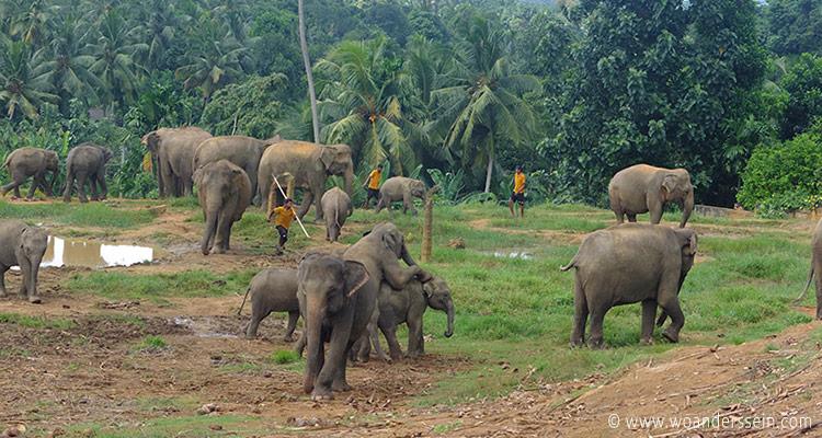 srilanka-pinnawala24-jpg