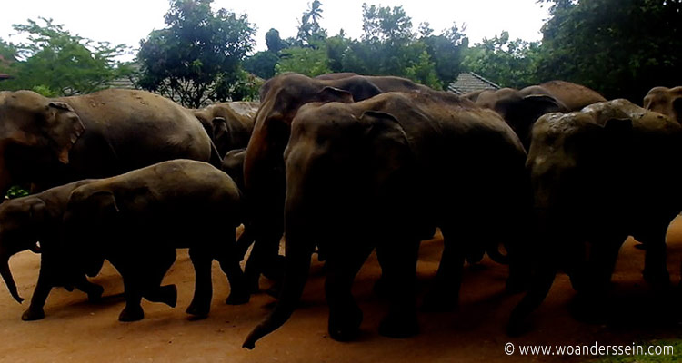 srilanka-pinnawala27-jpg